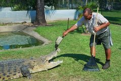 Crocodile farmer Mick Tabone plays with the reptile kept behind the fence in Australia in Jonston River, Australia. Stock Image