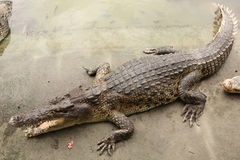 Crocodile in farms Royalty Free Stock Photos