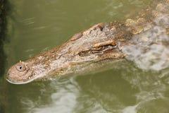 Crocodile in farms Stock Image