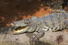 The crocodile is  after feeding Stock Images