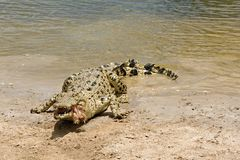 Crocodile feeding Stock Image