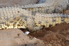 Crocodile femelle du Nil pondant des oeufs Image libre de droits