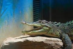 Crocodile. The ferocious alligator in the zoo Stock Image