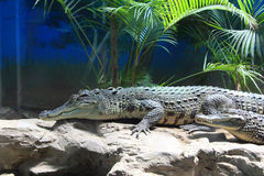 Crocodile. The ferocious alligator in the zoo Royalty Free Stock Image