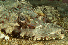 Crocodile fish Royalty Free Stock Images