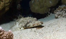 Crocodile fish. On the white sand of the red sea Stock Photos