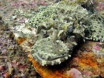 Crocodile Fish Royalty Free Stock Photography