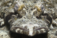 Crocodile fish. Close up shots of the crocodile fish showing both eyes royalty free stock photos