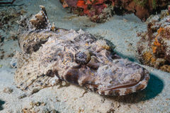Crocodile fish at Cauldron, Komodo stock images