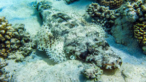 Crocodile fish laying on the ground, Egypt, Marsa Alam. Crocodile fish laying on the ground, Egypt Marsa Alam Stock Photography