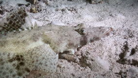 Crocodile Fish night on reef Red Sea search food. Crocodile Fish night on reef Red Sea in search of food. Amazing, beautiful underwater world Red Sea and life stock video footage