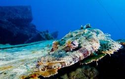 Crocodile fish. Red sea Royalty Free Stock Photo