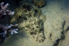 Crocodile fish on seabed Stock Photography