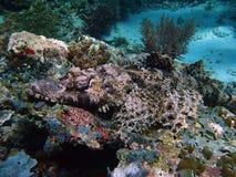 Crocodile fish sipadan coral reef. Camouflaged crocodile fish on coral reef in sipadan in sabah borneo Stock Image