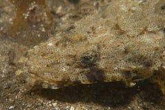 Crocodile Flathead-Inegocia guttata Stock Images