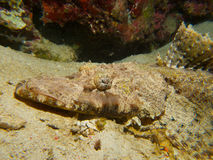 Crocodile flathead. A Crocodile flathead tries to blend into the background, while sitting in wait for prey on a ledge of a reef wall at Menjangan Island, Bali Stock Photos