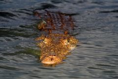 Crocodile floating Stock Image
