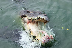 Crocodile. Floating on the river stock photography