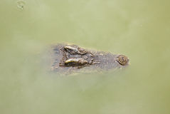 Crocodile floating on water.It is a dander Stock Photography