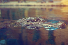 The crocodile floats on the surface of the water. Royalty Free Stock Images