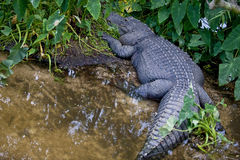 Crocodile in Florida swamp. Details of a large crocodile wading through the swamp of the Florida Everglades.  Family:  Crocodylidae Stock Photography