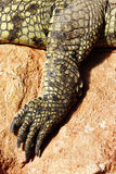 Crocodile foot Royalty Free Stock Photography