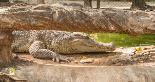 The crocodile. Is formidable and dangerous wild animals Stock Photo