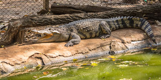 The crocodile. Is a formidable and dangerous wild animals Royalty Free Stock Image