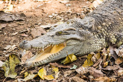 The crocodile. Is a formidable and dangerous wild animals Royalty Free Stock Images