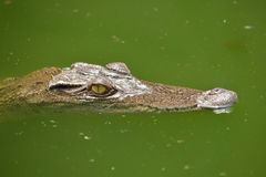 Crocodile. Freshwater crocodile or alligator or crocodile swamp, freshwater species are native to Thailand in Vietnam, Cambodia, Laos, Thailand, Kalimantan, Java Stock Photography