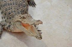 Crocodile. Freshwater crocodile or alligator or crocodile swamp, freshwater species are native to Thailand in Vietnam, Cambodia, Laos, Thailand, Kalimantan, Java Stock Image