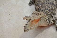 Crocodile. Freshwater crocodile or alligator or crocodile swamp, freshwater species are native to Thailand in Vietnam, Cambodia, Laos, Thailand, Kalimantan, Java Stock Photo