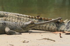 Crocodile Ganges Gavial Stock Photo
