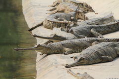 Crocodile Ganges Gavial Royalty Free Stock Image