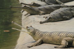 Crocodile Ganges Gavial Stock Images