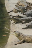 Crocodile Ganges Gavial Royalty Free Stock Photo