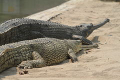 Crocodile Ganges Gavial Stock Photography