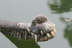 Crocodile Ganges Gavial Stock Photos