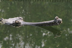 Crocodile Ganges Gavial Royalty Free Stock Images