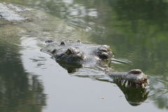 Crocodile Ganges Gavial Stock Image