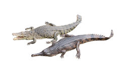 Crocodile and gavial friend Royalty Free Stock Photos