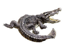 Crocodile gnarr. Showed his teeth. Tis Photo have path on isolate.White background Stock Photos