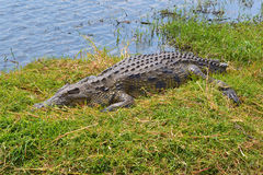 Crocodile Grass Bank River Camouflage Hiding Royalty Free Stock Photography