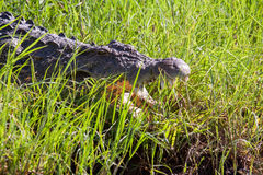 Crocodile in the Grass, Chobe National Park, Botswana. Africa Royalty Free Stock Photos
