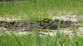 Crocodile with grass on its body stock photos
