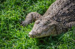 Crocodile in the grass royalty free stock images