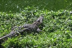 Crocodile in the grass Stock Image