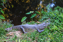 A crocodile on the grass near the river. Stock Image