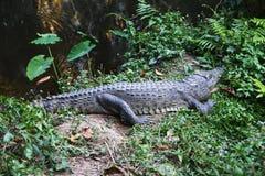 A crocodile on the grass near the river. Stock Photo