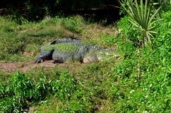 Crocodile in the grass Stock Photos